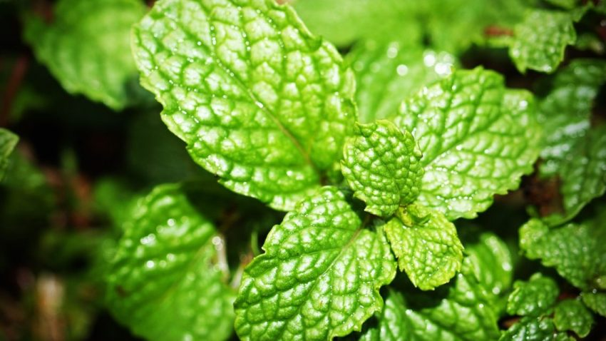 Mint, grow your own at home