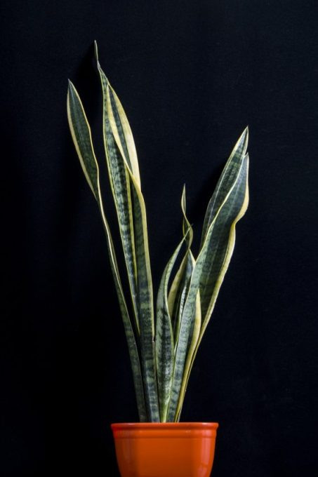 Snake Plant Houseplants that love to be in the dark