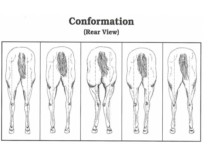 Rear View Conformation of the Horse Leg Quiz