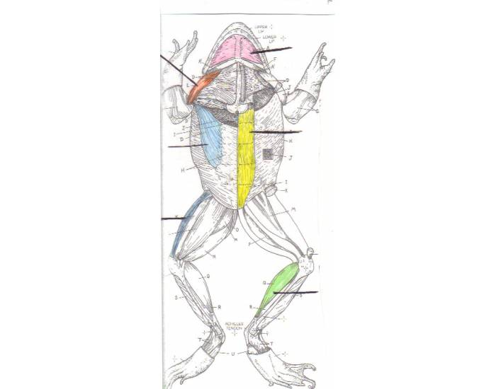 Frog, Muscular System, Ventral View, CSUStan zool 2008