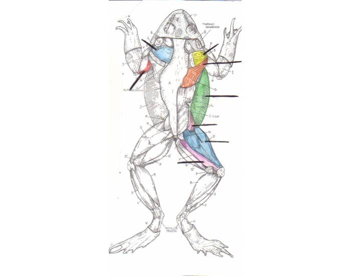 Frog, Muscular System, Dorsal View, CSUStan zoology 1050