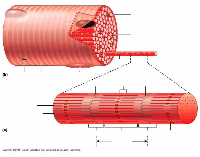 unlabeled muscles diagram blank logic of 8 to 1 line multiplexer microscopic anatomy skeletal muscle