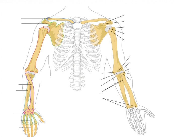 bones skeleton diagram with labels poe cat5 wiring chief delphi power over ethernet for 2017 human anatomy: arm