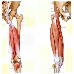 Upper Leg Muscles Diagram 2007 Ford Focus Engine Thigh And Toyskids Co Of Names