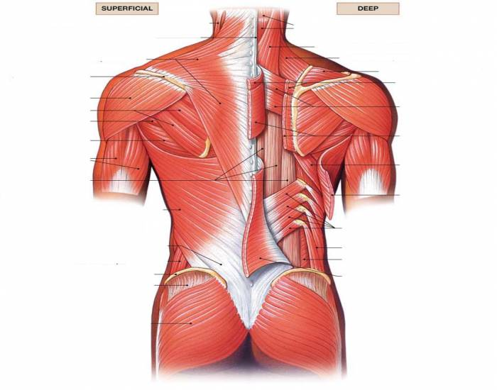 Of The Torso Diagram Muscles Of The Torso Human Anatomy Diagram