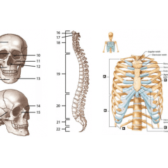 The Human Skeleton Diagram Fill In Blanks Venn Comparing Osmosis And Diffusion Axial Labeling Purposegames