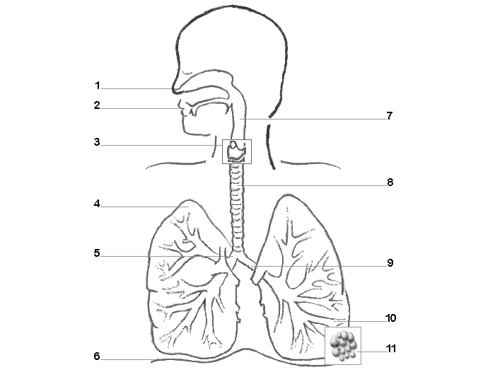 Respiratory System Labeling