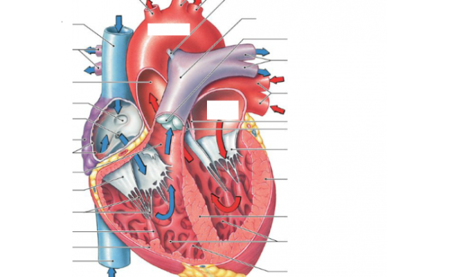 Game Statistics The Sectional Anatomy Of The Heart