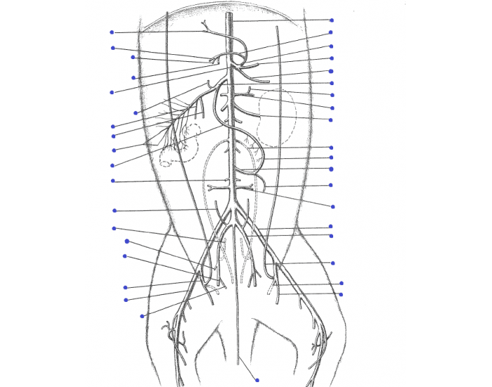 Cat Arteries lower body