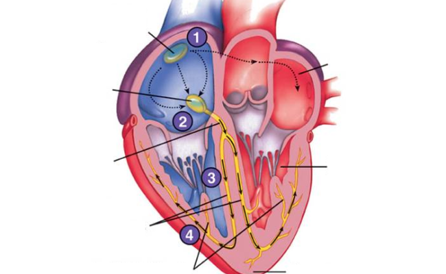 Heart Electrical System Purposegames