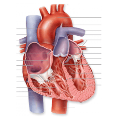 Blank Heart Diagram Labeled How To Construct A Tree Frontal Section Of Human - Purposegames