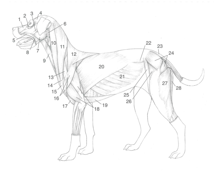 Superficial Dog muscles (Jr)