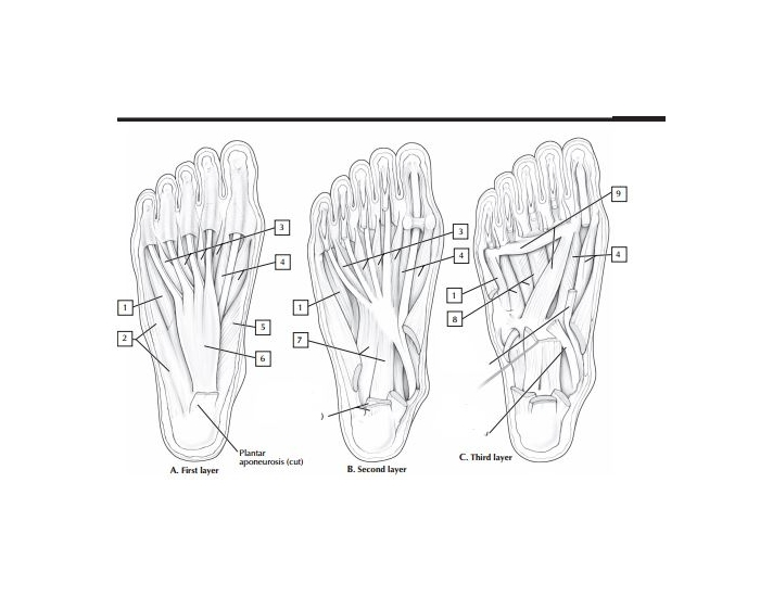 Intrinsic Layers of the foot