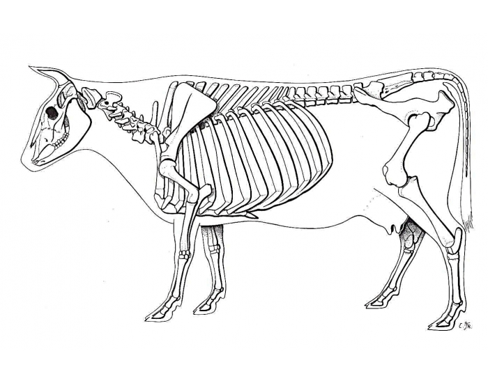 Cattle Skeletal System