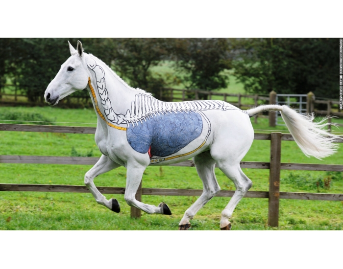 horse respiratory system diagram access freightliner wiring diagrams the order of equine - purposegames