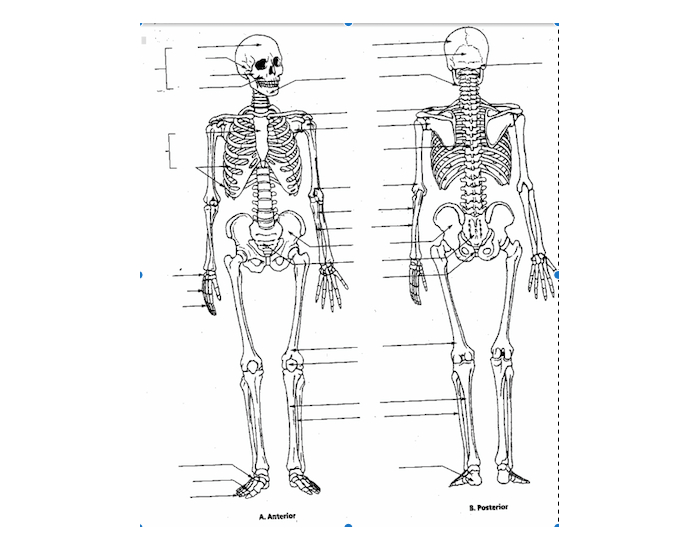 Anterior and Posterior Bone Anatomy