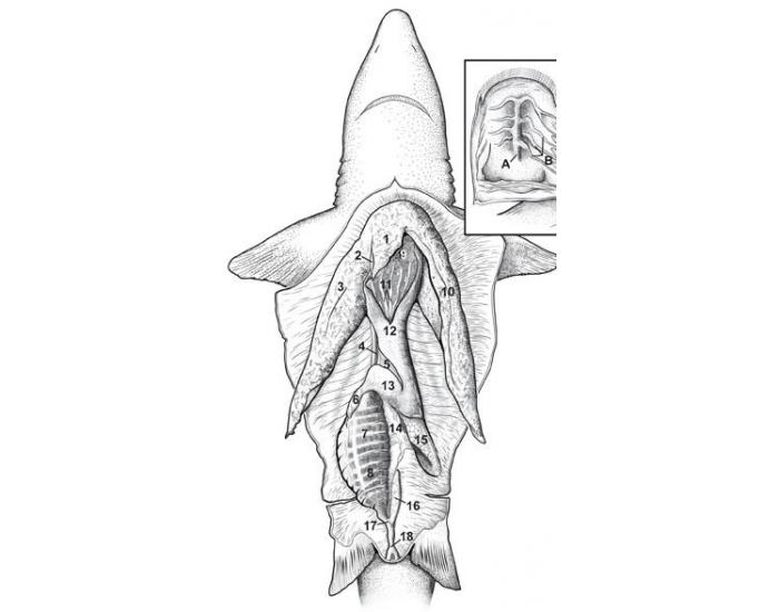 day 2: digestive system (shark dissection)