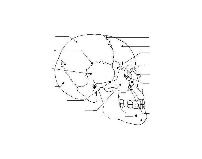 Skull And Facial Bones Anatomy Game
