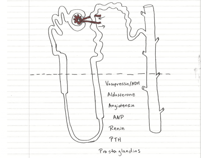 Renal Physiology Nephron Quiz