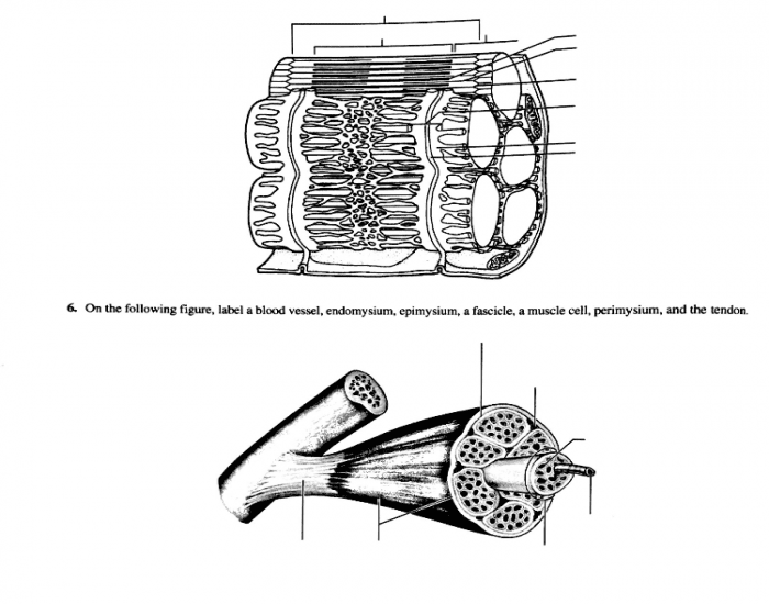 Muscle Cell Diagram Black And White
