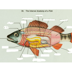 Perch Internal Anatomy Diagram 2006 Chrysler Sebring Radio Wiring - Purposegames