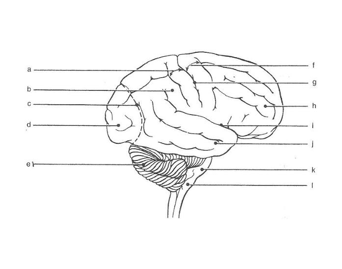 Label the outside of the brain