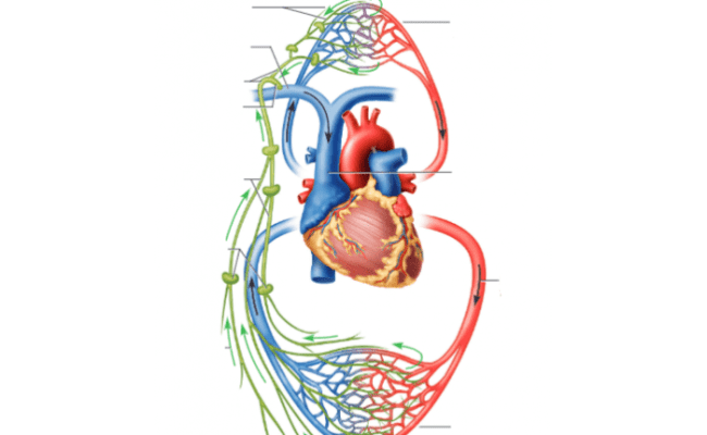 Lymphatic Vs Cardiovascular System Purposegames
