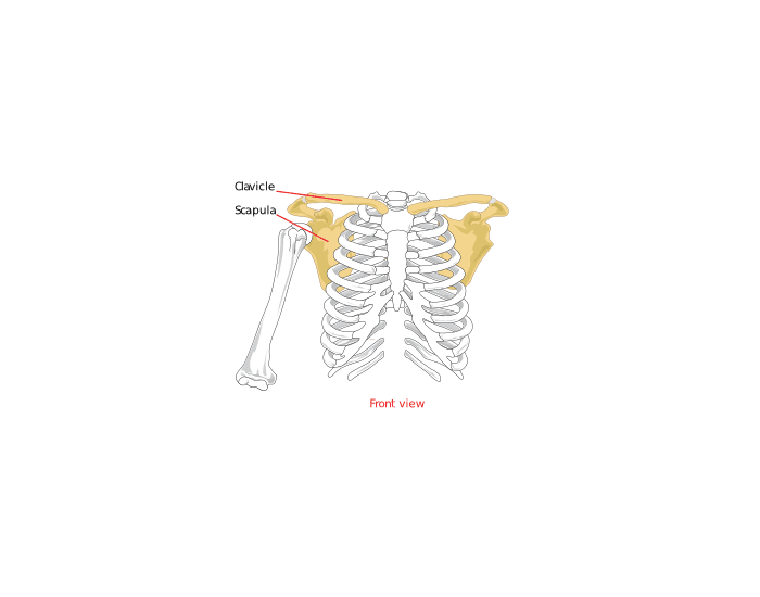 Ribs and sternum quiz