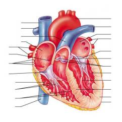 Realistic Heart Diagram 2008 Ford F350 Ignition Switch Wiring Anatomy Of The Human Internal Structures Purposegames