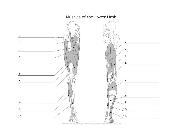 Lower Leg Muscles Diagram / Muscles Of The Lower Limb