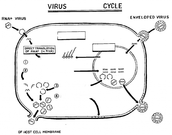 Microbiology Block 1: Virus Infection Cycle (DNA