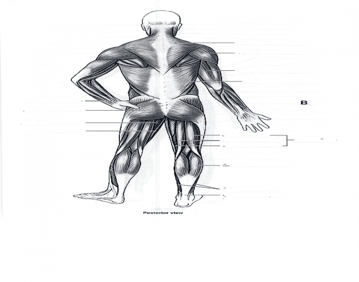 Posterior view of the muscles