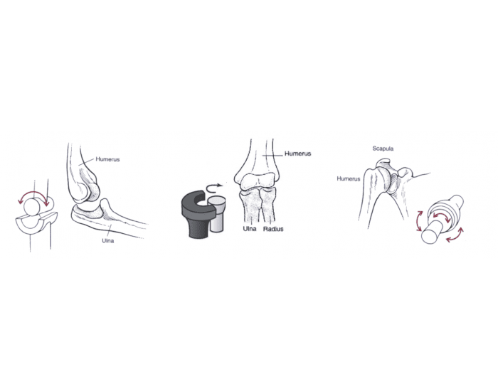 Types of Joints in the skeletal system