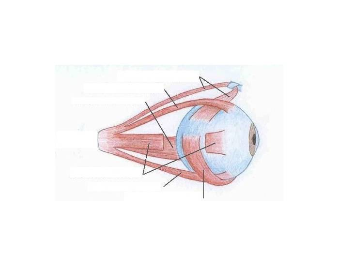 unlabeled muscles diagram blank maytag side by refrigerator label the of eye - purposegames