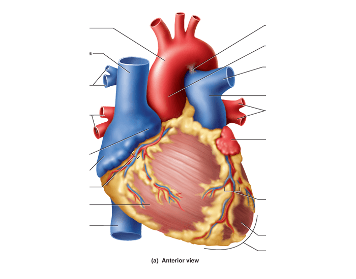 anterior heart diagram unlabeled fisher paykel dryer parts surface anatomy of - purposegames