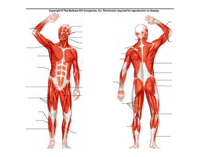 human muscles diagram labeled front and back 2004 yamaha kodiak 400 wiring muscular system purposegames