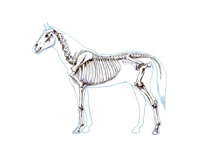 The skeleton of a Horse