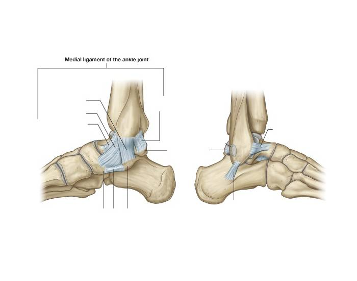 Diagram Of Bone With Labels Ankle Ligaments Medial And Lateral Purposegames