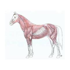 Horse Neck Diagram 2003 Subaru Outback Stereo Wiring Muscle Anatomy Of A - Purposegames