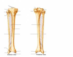 Anatomy Tibia and Fibula  PurposeGames