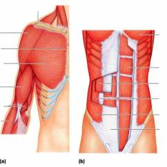 Back Muscles Diagram Unlabeled Xlr Trs Cable Wiring Anterior Trunk, Shoulder, And Arm