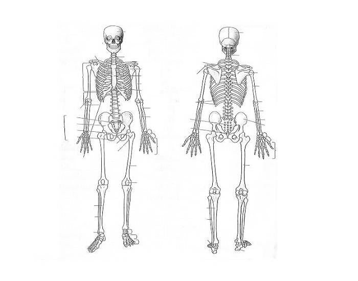 the human skeleton diagram fill in blanks 2017 subaru wrx stereo wiring axial and appendicular parts quiz purposegames