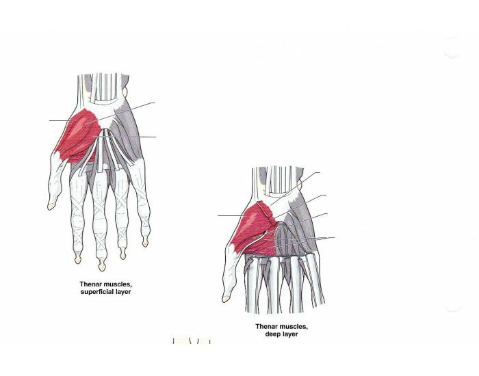 Muscles of the Thenar Region
