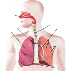 Label The Following Diagram Of Respiratory System Sony Xplod Cdx Gt350mp Wiring Labeling Interactive Purposegames