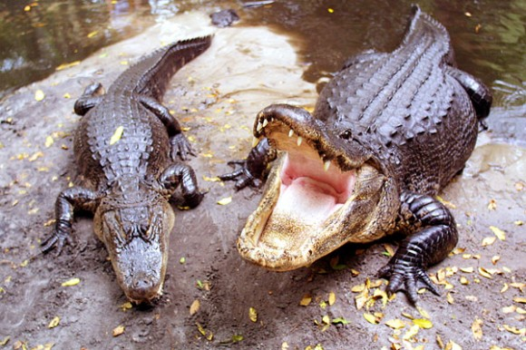 Image result for angry alligator