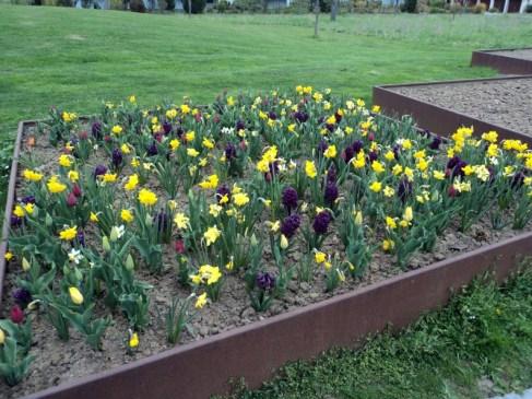 si kuning Osterglocken bersama Tulip-tulip