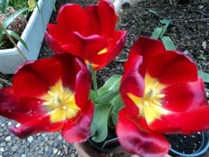 Tampak Bagian dalam beberapa Tulip, Terlihat Benang Sari dan Putik