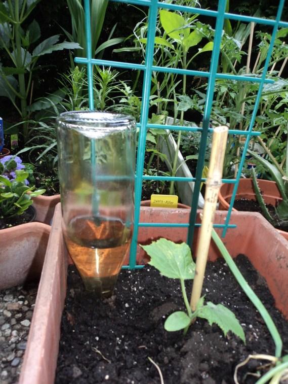 Pemanfaatan Botol untuk Hobi berkebun. Air dibotol Pada Hari ke empat 12 Juni 2012