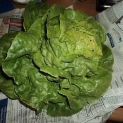 Dikasih Salad, baru petik dari kebunnya pasien suami