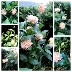 Bunga Dahlia 'Park Princess'  Terlihat Seperti Kembang Api